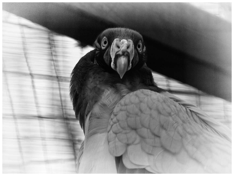 Raubvogel im Zoo