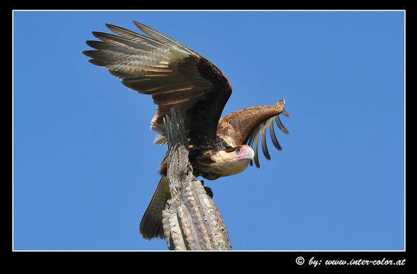 Raubvogel in Curacao