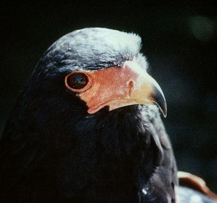 Raubvogelportrait
