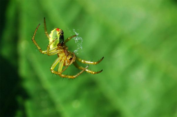Rauchende Spinne