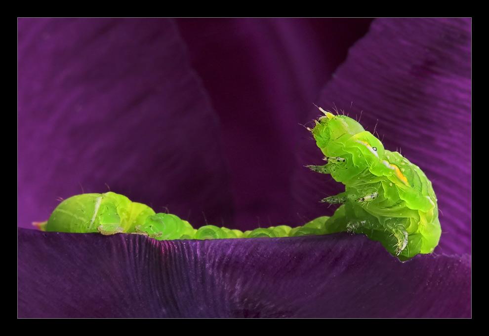 Raupe auf Tulpe