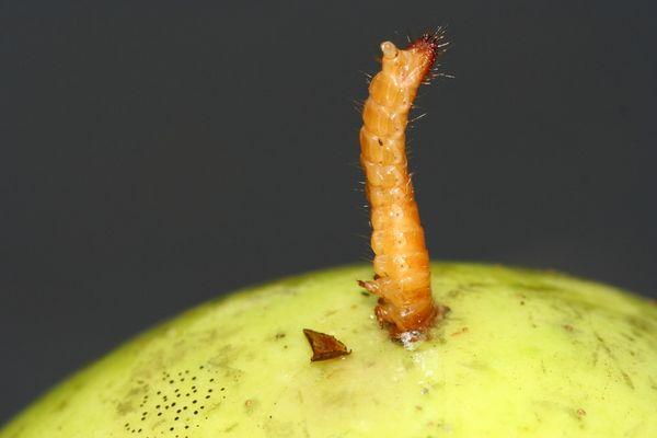 Raupe bohrt sich in Apfel