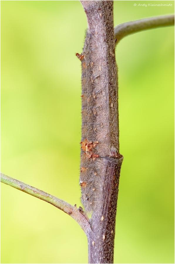 Raupe der Kupferglucke (Gastropacha quercifolia) 2