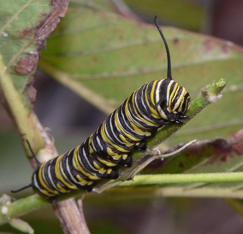 Raupe des Monarchen