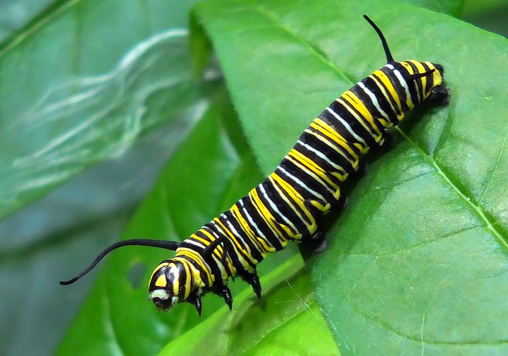 raupe des monarchfalter foto bild tiere wildlife. Black Bedroom Furniture Sets. Home Design Ideas