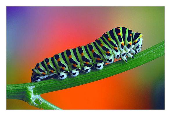 Raupe des Papilio machaon
