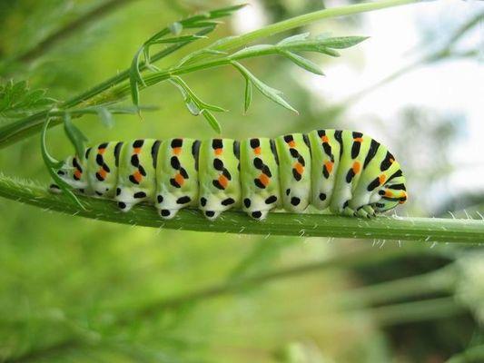 Raupe des Schmetterlings Schwalbenschwanz