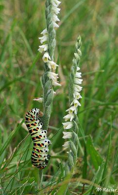 Raupe des Schwalbenschwanz & Herbst-Drehwurz (Spiranthes spiralis)