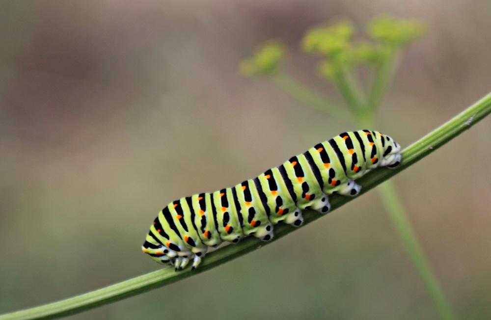 Raupe des Schwalbenschwanz (Papilio machaon)