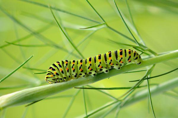 Raupe des Schwalbenschwanzes (Papilio machaon)