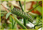 Raupe eines Schwalbenschwanzes (Papilio machaon)