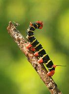 Raupe Frangipani Caterpillars