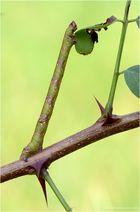 Raupe vom Birkenspanner (Biston betularia)