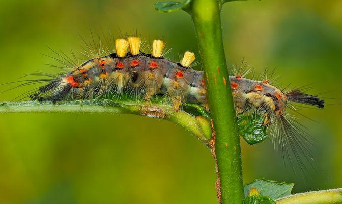 Raupe vom Schlehen-Bürstenspinner (Orgyia antiqua) - Chenille de l'Etoilée!