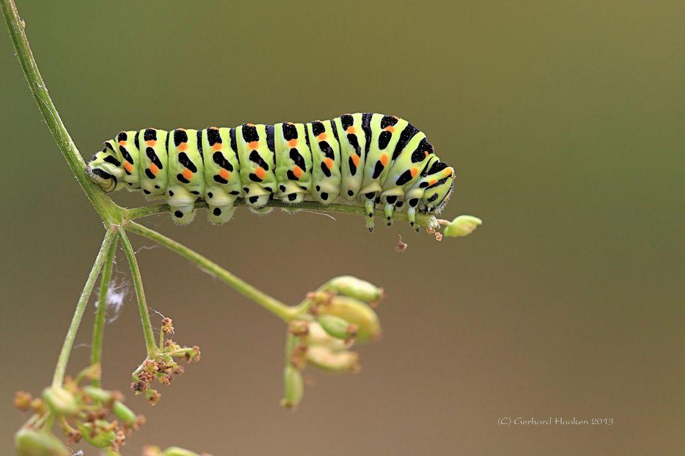 Raupe vom Schwalbenschwanz (Papilio machaon)