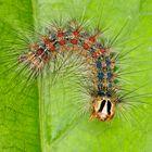 Raupe von einem Schwammspinner (Lymatria dispar) - Carterpillar from Lymatria dispar