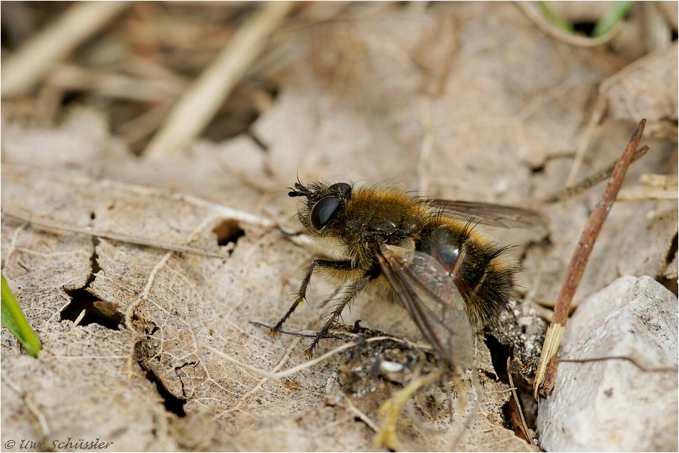 Raupenfliege (Tachina ursina?)