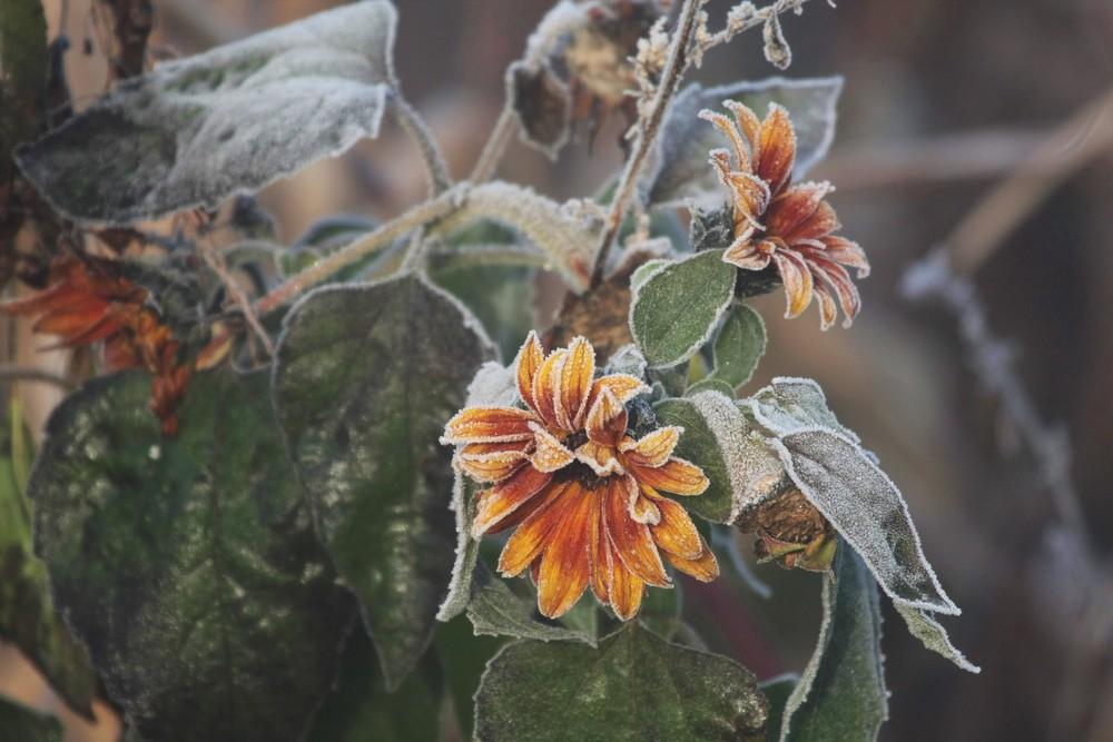 Raureif auf Sonnenblume