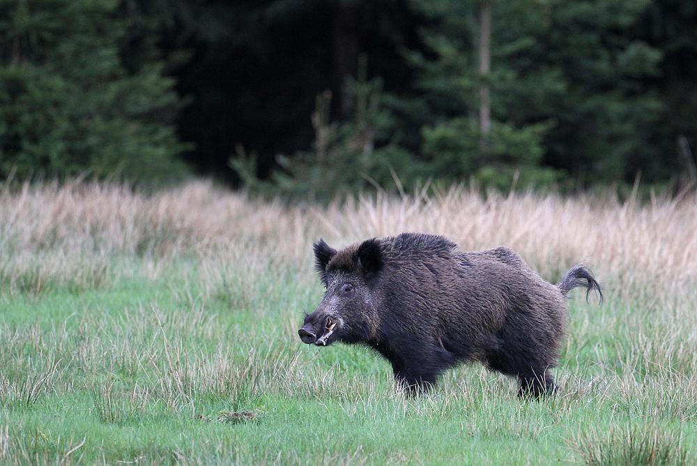Rauschiger Keiler Foto & Bild | tiere, wildlife ...