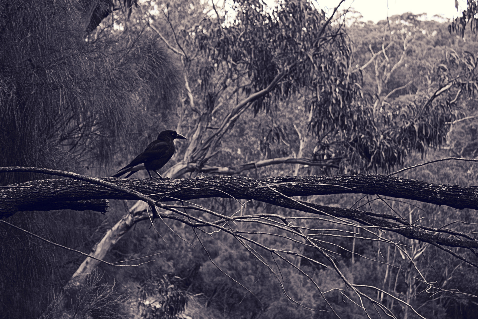 Raven in Victoria