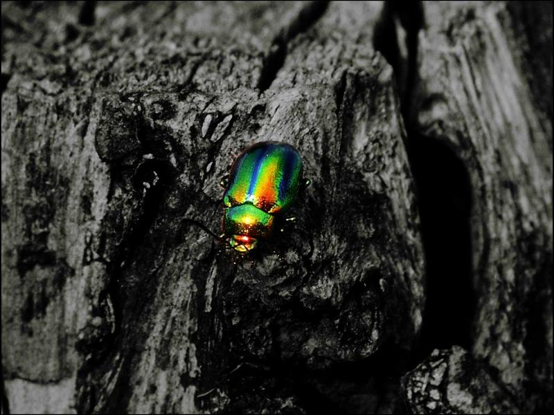 raynbow beetle