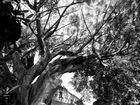 Árbol de San Jerónimo