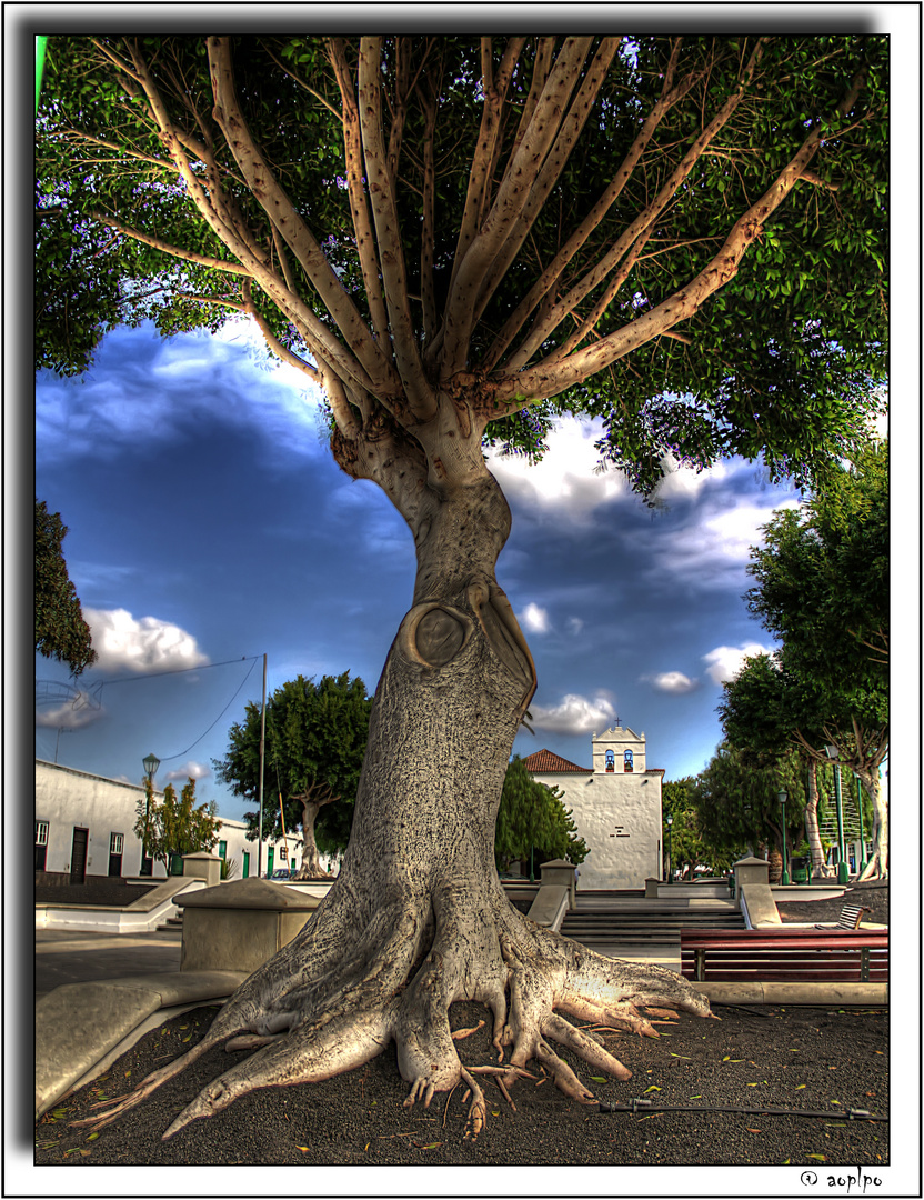 Árbol en la plaza de Yaiza