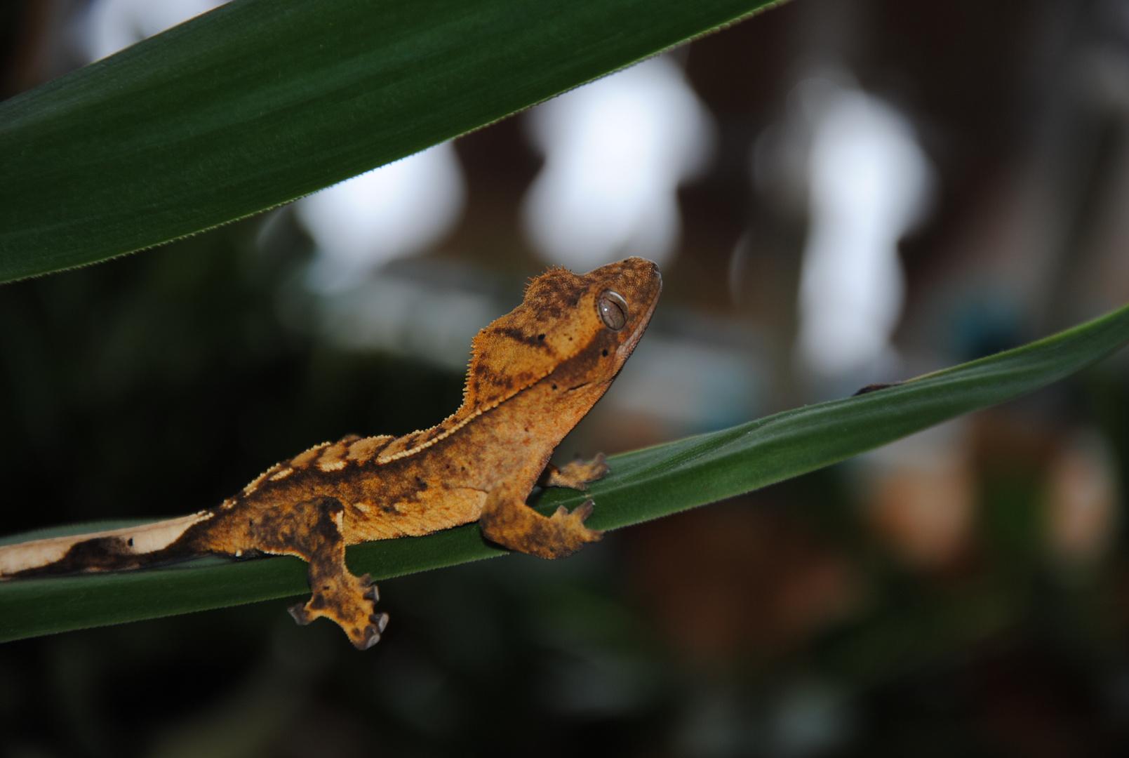 R.ciliatus 03