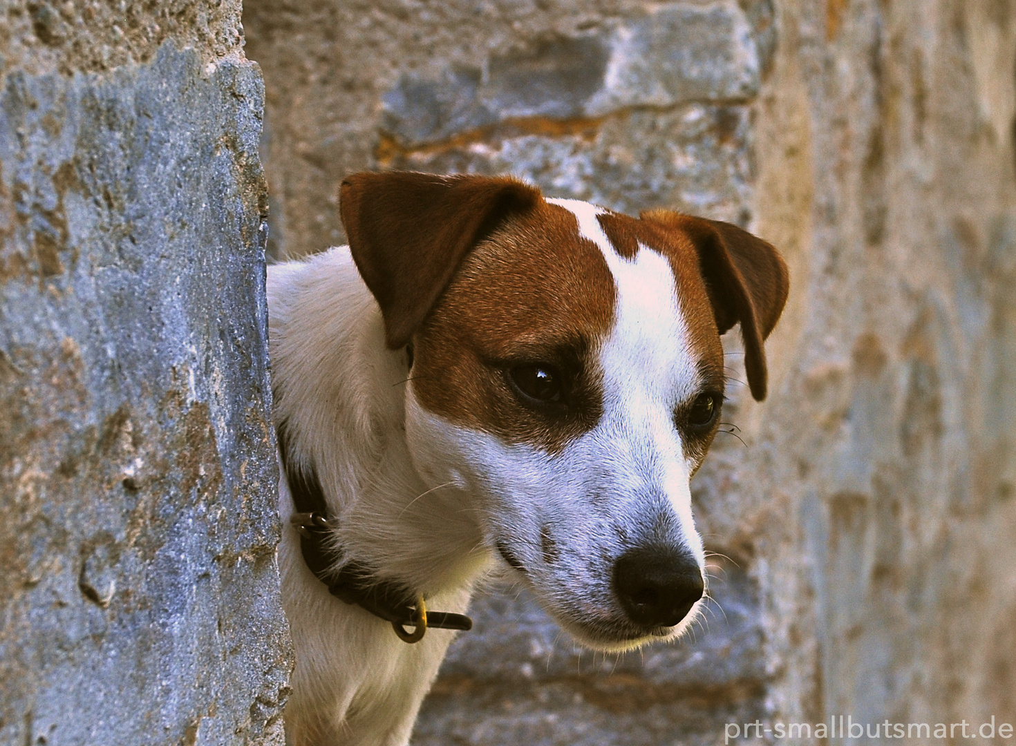 Real Jack Russell