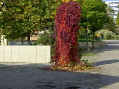 Rebe im Herbstgewand