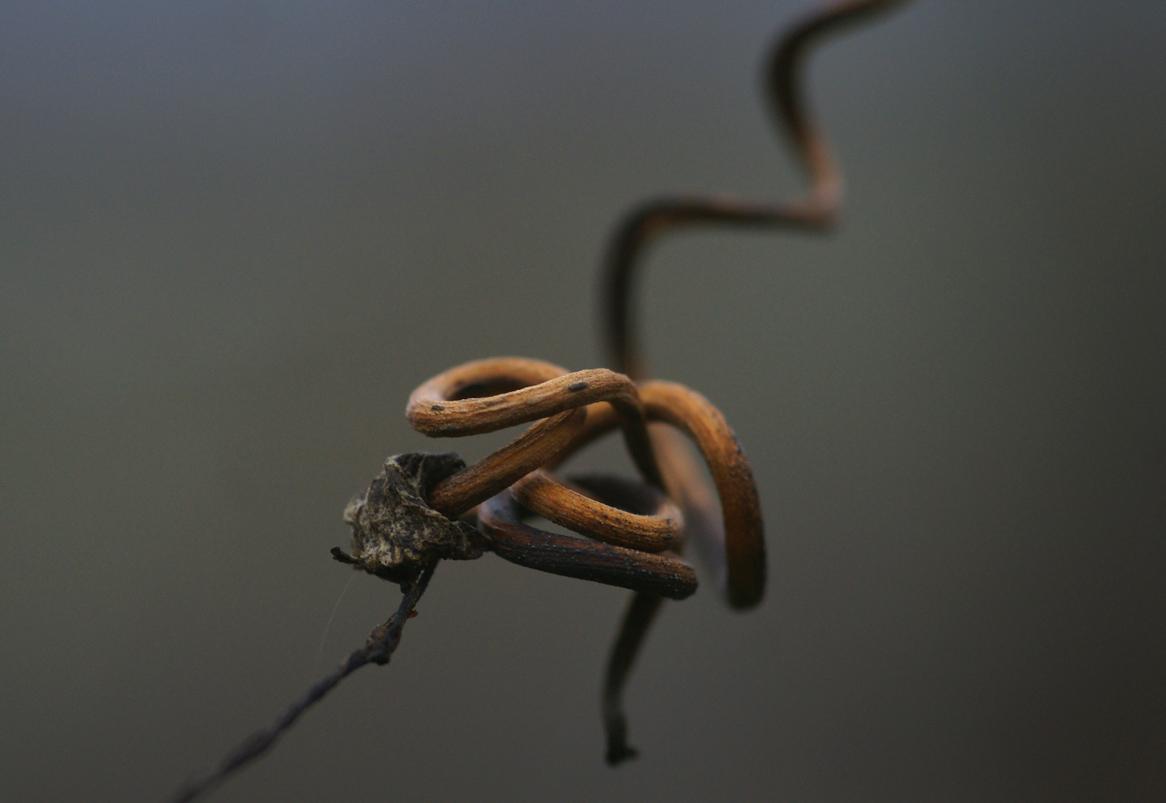 Rebe sucht Anschluß vor dem drohenden Winter oder dem Schnitter