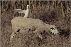 Rechts ist DA lang, du .... Schaf