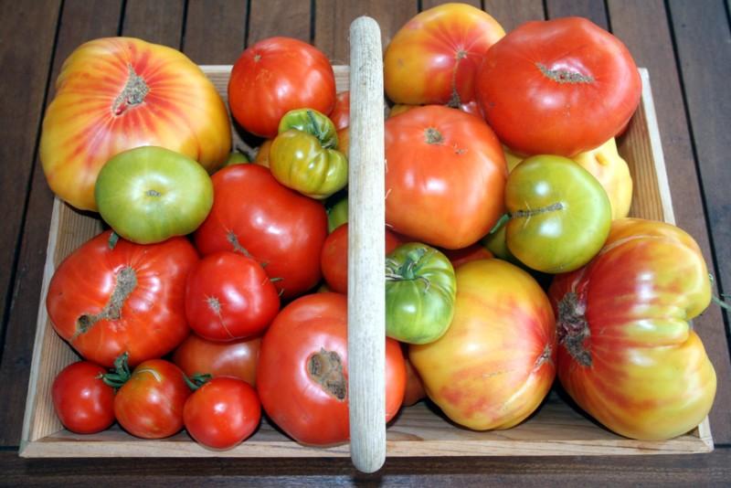 Récolte de tomates