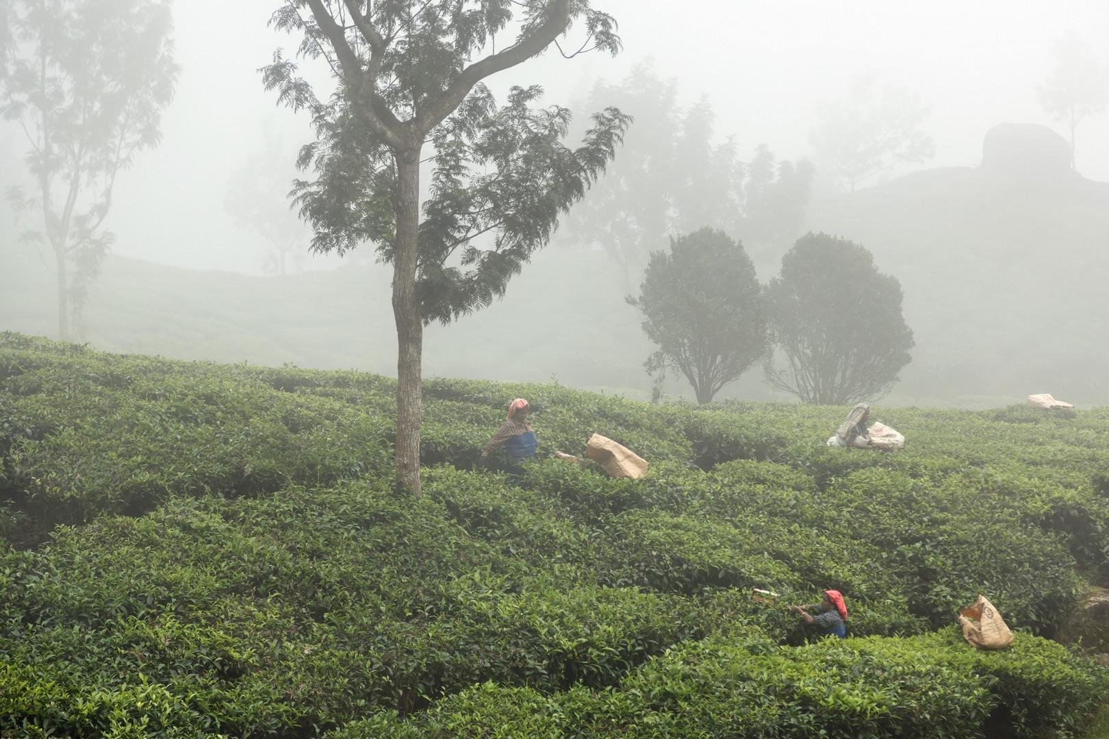 Recolte du thé dans les nuages (à côté de Munar)