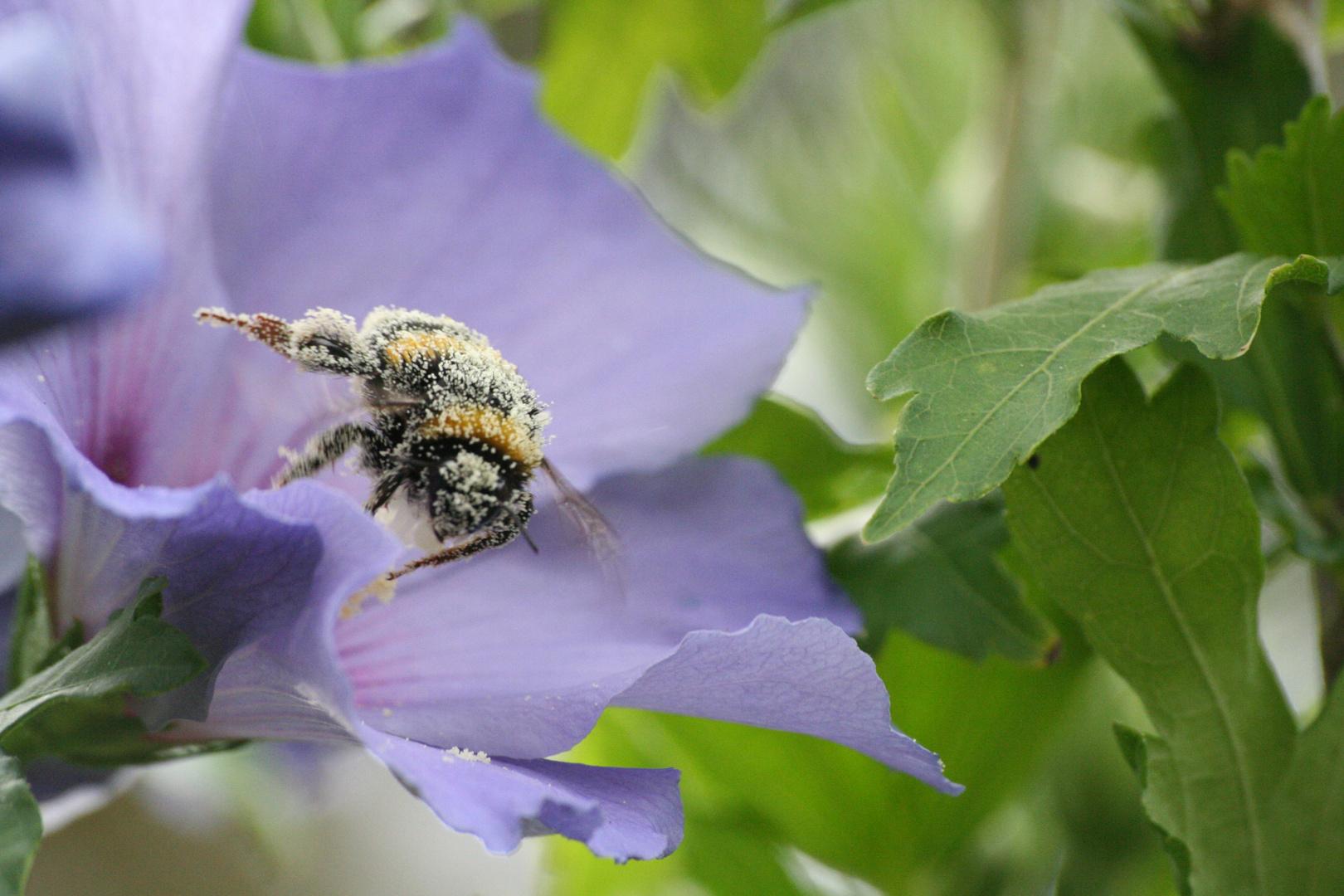 Récolte d'une abeille
