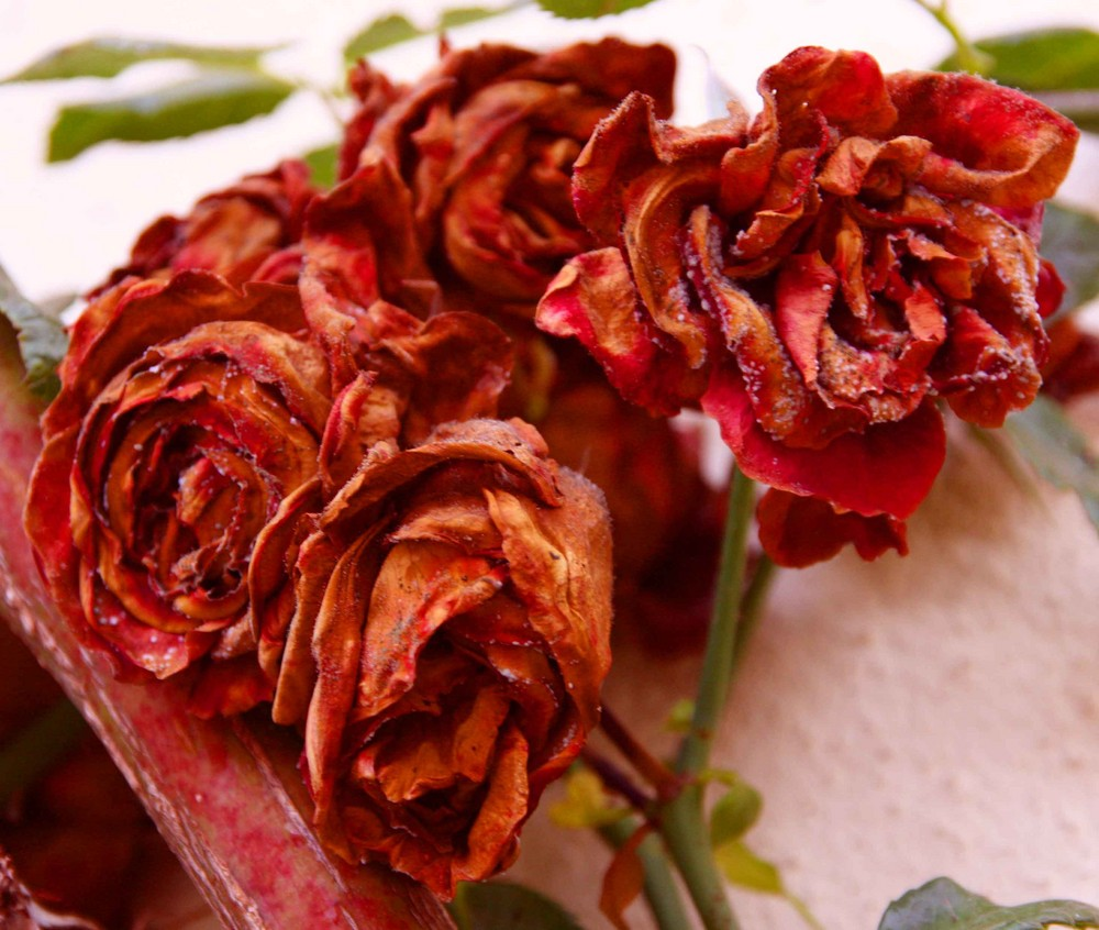 Red and Dry Roses