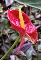 Red Anthuria