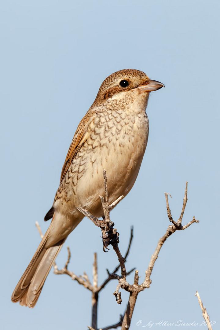 Red-backed Shrike - female