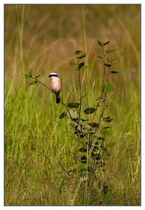 Red-backed Shrike (Lanius collurio)