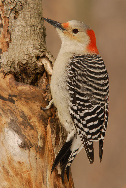Red-bellied Woodpecker 2