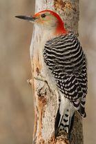 Red-bellied Woodpecker 3