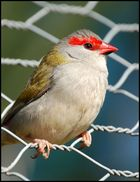 Red Browed Finch 3