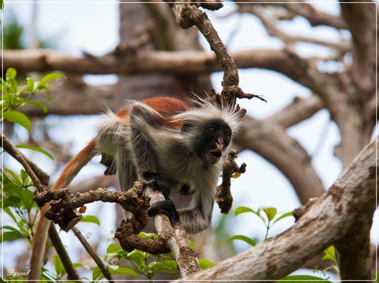Red Colobus Monkeys 1