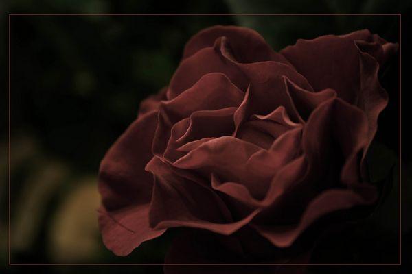 Red Dark Beauty