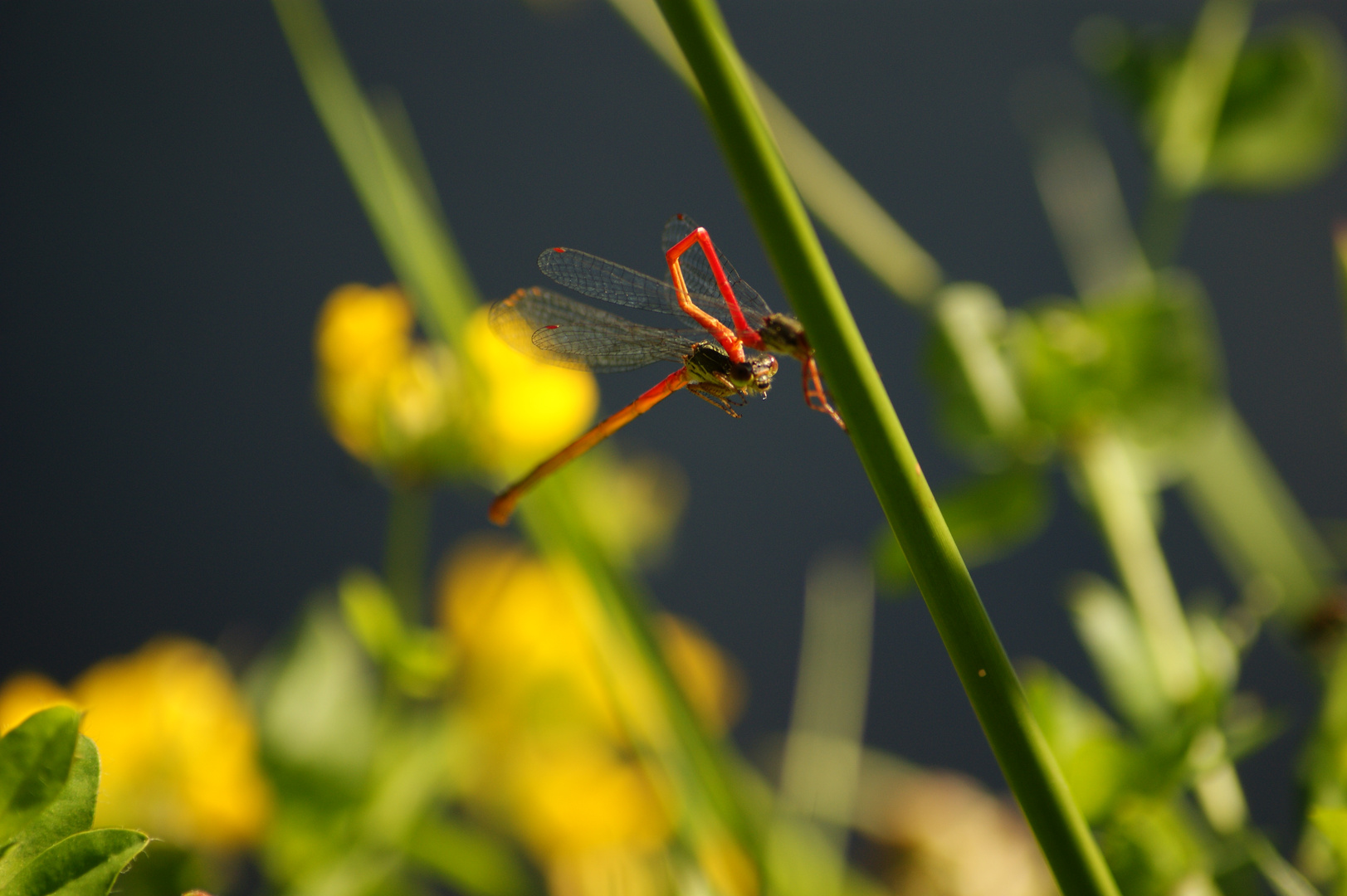 red dragon-fly.