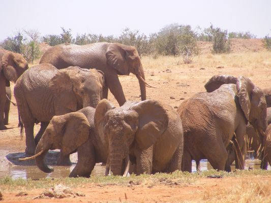 Red Elephants in Tsavo