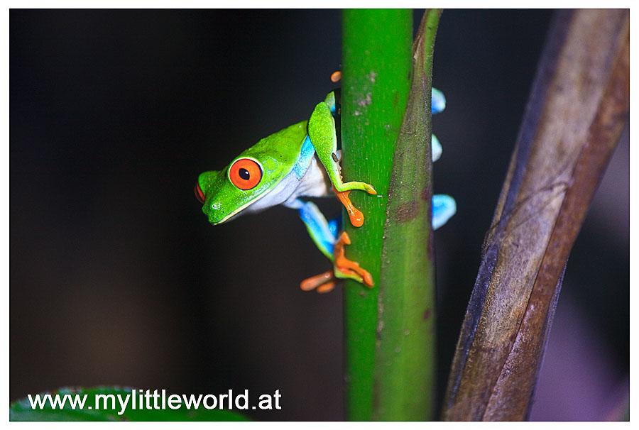 Red Eye Frog @ Costa Rica