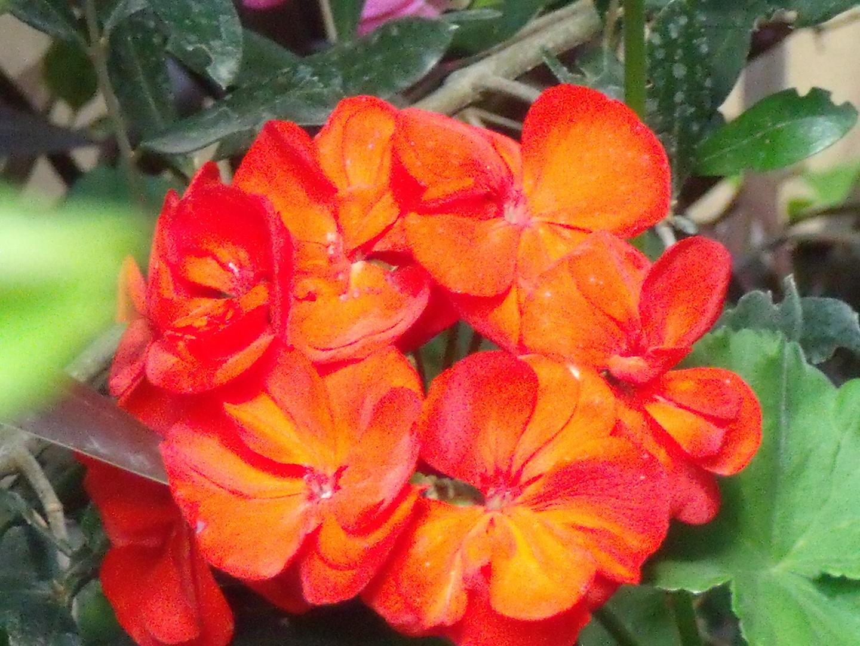 red fleur