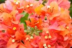 red flowers of St. Lucia
