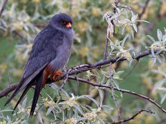 Red-footed falcon I